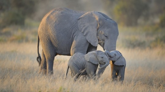 african_elephants_mother_and_adorable_babies-wallpaper-960x600